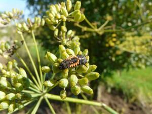 larve de coccinelle sur fenouil © Métropole de Lyon - Elodie Poyet