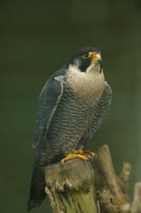 Faucon pèlerin. Au sien de la Métropole l'espèce fait l'objet de suivis scientifiques réguliers. Crédit photo : Suzanne Bissardon