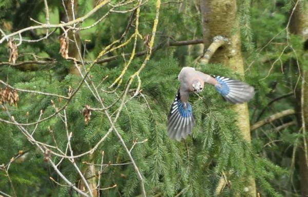 Geai des chênes. L'oiseau est connu pour réaliser des réserves de nourriture, pour sa gourmandise et pour  son cri nasillard.  Crédit photo : Claude Collin