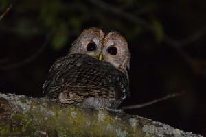 Venez découvrir les rapaces nocturnes au parc de Parilly