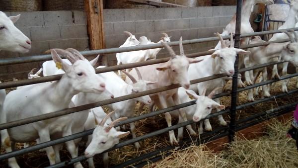 Des adhérents de VRAC Vaulx-en-Velin à la fromagerie de Chasse Nuage