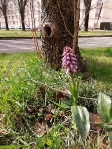 Des orchidées sauvages au parc de Parilly