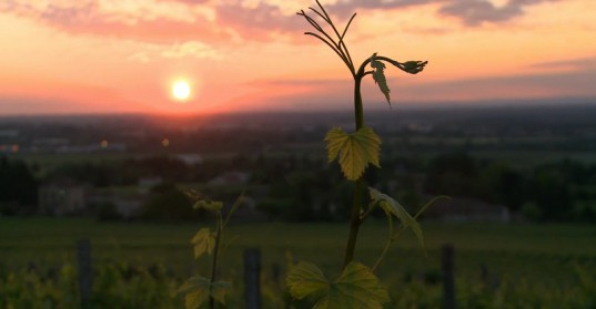 La vitiulture biodynamique est une réponse au changement climatique