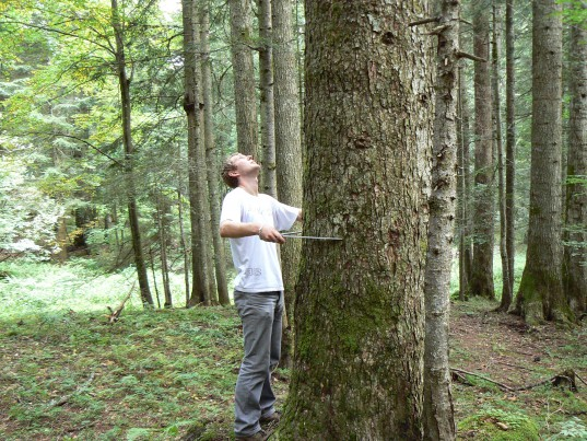 Un homme mesure le diamètre d'un arbre à l'aide d'un compas forestier