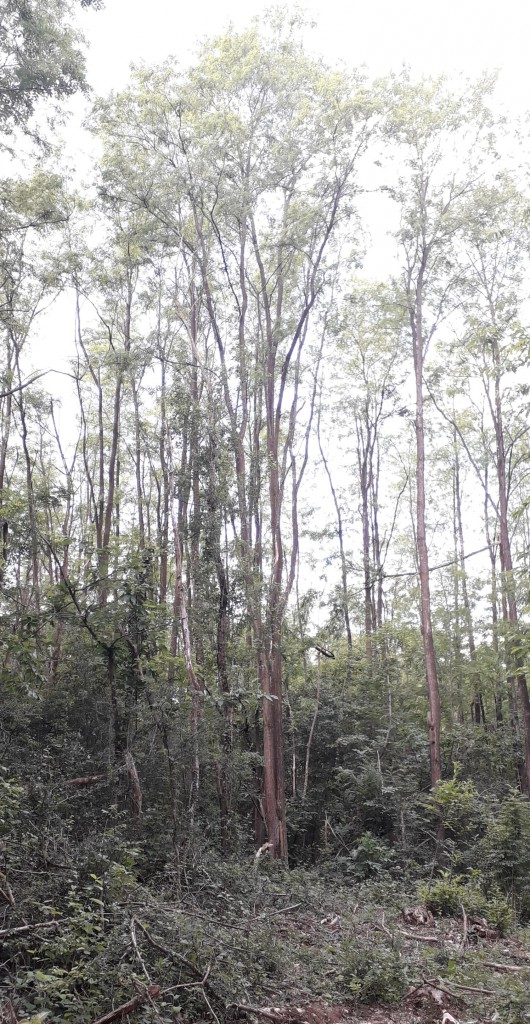 La parcelle vient d'être éclaircie : les branches sont laissées au sol pour conserver les sels minéraux, les robinier, frênes, merisers, acacias présentent un bon potentiel