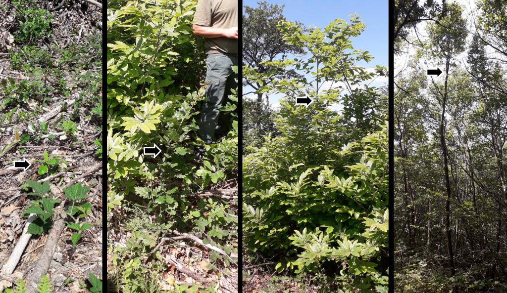 Parcours d'un chêne d'avenir : de gauche à droite, l'arbre est repérée et sélectionné quand il sort de terre, puis on défriche tous les 5 ans pour permettre son développement, lui permettant d'atteindre, à 18 ans, la cime de la forêt. Il lui restera encore à gagner en épaisseur pendant de nombreuses années...
