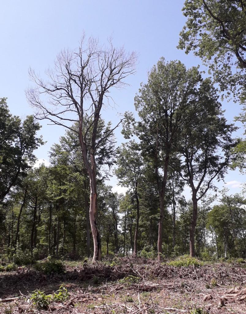 Cet arbre patrimonial est laissé en place : en effet, certains insectes sont exigents : ils ne s'installent que sur les arbres de plus de 40 cm de diamètre !